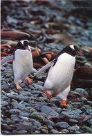 MANCHOTS PAPOUS (PYGOSCELIS PAPUA) PINGÜINO PENGUIN PINGOUIN. POSTAL POSTALE NON CIRCULE - LILHU - Pájaros