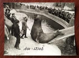 Zoo De Vincennes ? Éléphant De Mer Femelle ? Opérateur En Embuscade. 1936. - Places