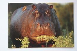POSTCARD BOTSWANA - HIPPO - HIPOPOTAMO - Ocavango - Botswana