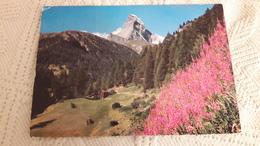 Suisse Zermatt Matterhorn Mit Weidenröschen - VS Valais