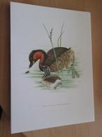 PLANCHE N°161 19 X 27cm  Années 50 / OISEAU GREBE CASTAGNEUX , Pour Faire Une Gravure Sous-cadre Très Sympa - Vieux Papiers