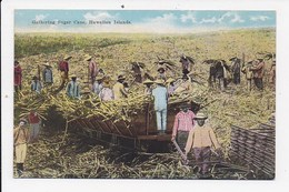 CPA ETATS UNIS Gathering Sugar Cane Hawaiian Islands - Etats-Unis