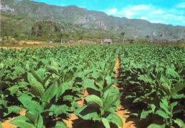 [MD3094] CPM - CUBA - VEGA DE TABACO - TOBACCO PLANTATION - Non Viaggiata - Cuba