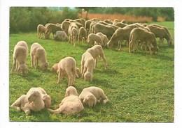 Pecore - Non Viaggiata - Autres