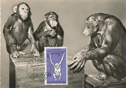 D36848 CARTE MAXIMUM CARD 1962 CZECHOSLOVAKIA - CHIMPANZEE SHIMPANSEN CP ORIGINAL - Chimpanzés