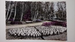 Holland, Olanda - Lisse - Keukenhof - Park, Garden, Flowers - Lisse