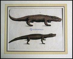 Amphibien: 2 Verschiedene Amphibien (Krokodil Und Kaiman) Auf Einem Blatt, Altkolorierter Kupferstich Aus F.P. Wilmsens  - Lithographien