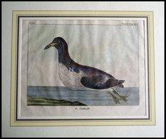 Der Schwimmvogel (le Stuttnefa), Kolorierter Kupferstich Von Olafsen Aus Atlas Du Voyage En Islande Von 1802 - Lithographien