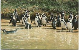 Humboldt Penguins, Whipsnade - Birds