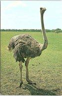 Bird, Ostrich, Whipsnade Zoo - Birds