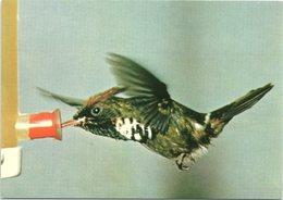 Bird, Frilled Coquette Hummingbird - Birds