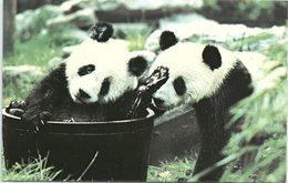 Pandas Ching-Ching And Chia-Chia - Animals
