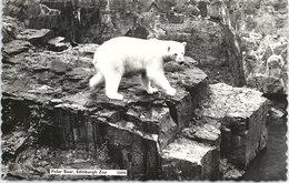 Polar Bear, Edinburgh Zoo, Real Photo - Bears