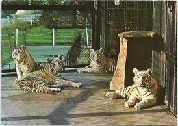 White Tigers At Bristol Zoo - Tigres