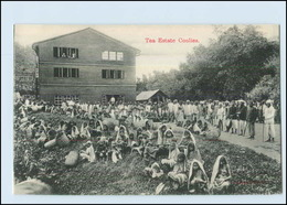 T4214/ Tea Estate Collies  Ceylon AK Tee-Ernte Ca.1910 - Ansichtskarten