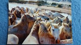CPSM CHEVAL CHEVAUX HORSES EN CAMARGUE TROUPEAU DE CHEVAUX SAUVAGES YVON 1979 - Chevaux