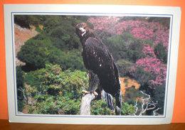 Aquila Reale Cartolina Con Scheda Didattica - Uccelli