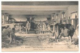 Rennes - Ecole D'Agriculture Des Trois-Croix - Vaches Dans L'Etable - Ed Dando-Berry - Rennes