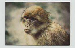 MACAQUE DE BARBARIE - Monos