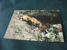 SAFARI DE L'ESTREREL FREJUS LEONE LION  ZOO SAFARI  FRANCIA - Lions