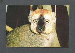 ANIMALS - ANIMAUX - LEMURIENS DE MADAGASCAR - LEMUR FULVUS RUFUS - PHOTO A. VISAGE - Autres