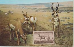 Etats-Unis Carte Maximum Animaux 1956 Antilopes 612 - Cartoline Maximum