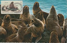 Etats-Unis Carte Maximum Animaux 1972 Phoques 963 - Cartoline Maximum