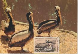 Etats-Unis Carte Maximum Oiseaux 1972 Pélican 965 - Cartoline Maximum