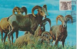 Etats-Unis Carte Maximum Animaux 1981 Mouflon 1321 - Cartoline Maximum