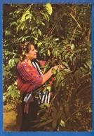 Guatemala; Indigena Cortando Cafe - Guatemala