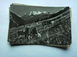Zwitserland Schweiz Suisse BE Kiental Viehweide Kühe Vaches Cows - BE Berne