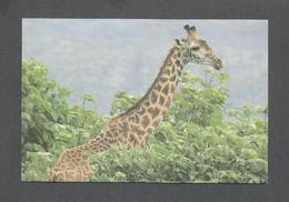 ANIMALS - ANIMAUX - MASAI GIRAFFE ARUSHA NATIONAL PARK - PHOTO NEIL BAKER - Girafes