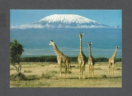 ANIMALS - ANIMAUX - AFRICAN WILDLIFE GIRAFFE WITH MT. KILIMANJARO - BY SAPRA STUDIO - Girafes