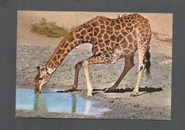 ANIMALS - ANIMAUX - GIRAFFE - LUANGWA VALLEY NATIONAL PARK - BY SAPRA STUDIO - Girafes