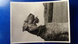 CHIEN FOX TERRIER 1955 - Dogs