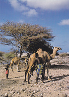 Afrique De L'est,DJIBOUTI ,au Bord De La Mer Rouge,prés Somalie,ethiopie,CHAMEAU,METIER - Gibuti