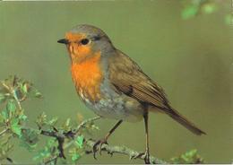 Inscrit Au Crayon De Papier Au Dos : Rouge Gorge Familier - Birds