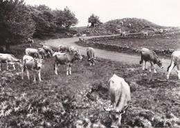 Carte 1960 TROUPEAUX SUR LES MONTS D'AUBRAC ET DE LAGUIOLE (vache,vaches) - France