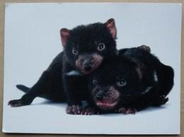 Australie 1019 Tasmanian Devil - Animals