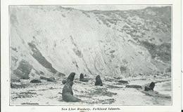 FALKLAND - Sea Lion Rookery - Falkland