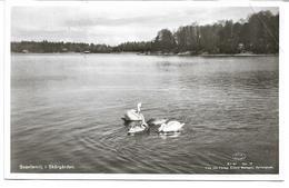 3050j: AK Aus Schweden, Schwäne, Gelaufen Ca. 1960, Eckbug - Vögel