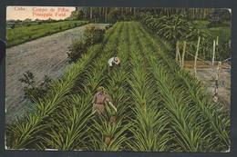 +++ CPA - Amérique - Antilles - CUBA - Campo De Pinas - Pineapple Field   // - Cuba