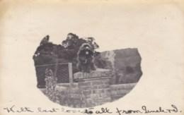 AN15 Animals, Spaniel Dog Sitting On A Pillar -private Photo, UB, 1903 Hemel Hempstead Duplex Postmark - Cani