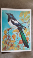 Eurasian Magpie -   OLD   Postcard 1979 - Oiseaux