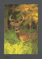 ANIMAUX - ANIMALS - CHEVREUIL - THE WHITE TAILED DEER IS NORTH AMERICA'S BEST KNOWN BIG GAME SPECIES - PHOTO M. RAYCROFT - Autres
