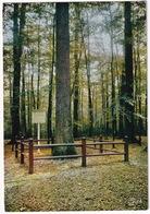 Forêt De Bercé  - Le Nouveau Chène Boppe - Circonférence  - (72) - Sarthe - Mayet