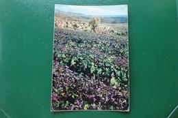 Tourrettes-sur-loup Alpes Maritimes La Floraison Des Violettes Autour Du Village écrite En 1980 - France