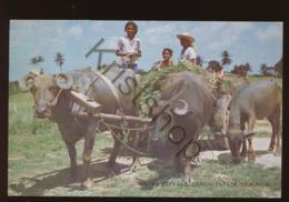 Trinidad - Water Buffalo [AA43-0.190 - Trinidad