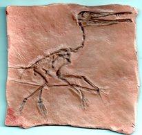 FOSSILE :   MOULAGE   D'un   ** Ptéranodon **  Ptérodactyle  -  Crétacé Sup.  De 70/140 Ma -  Kansas   USA.  -- - Fossiles