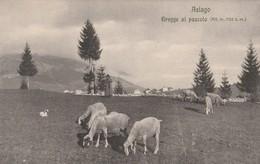 ASIAGO - GREGGE AL PASCOLO - Vicenza